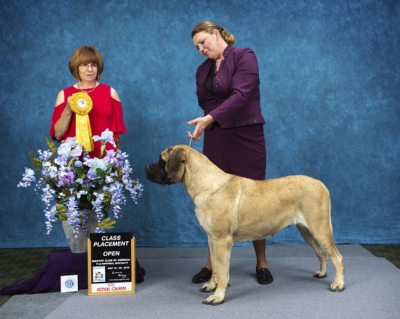 Epiphany Mastiffs ~*~ Proud to be home of the Gentle Giants